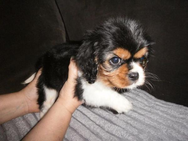 A Donner Chiot Cavalier King Charles Femelle Non L Bazar Lu